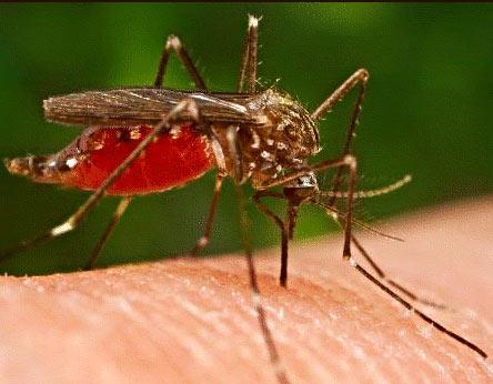 """Loài muỗi dùng gien để """"đánh hơi"""" người"""