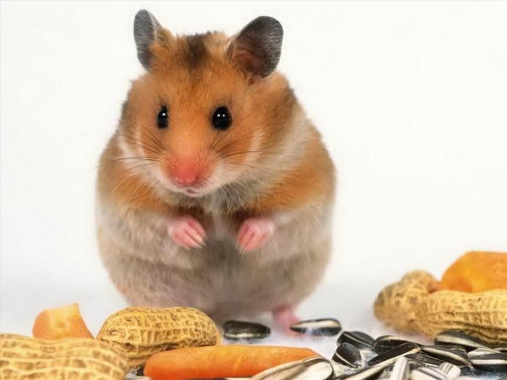 Chuột sống được bao lâu?