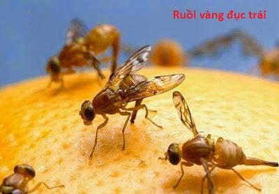 Ruồi vàng đục trái  Đặc điểm sinh học và sinh thái